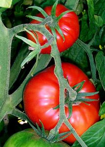 343px-Tomatoes-on-the-bush